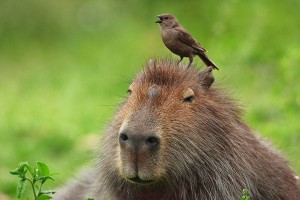Capybara 2 dgaf