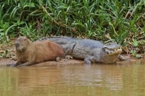 capybara caiman