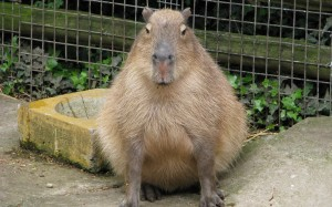 capybara dgaf
