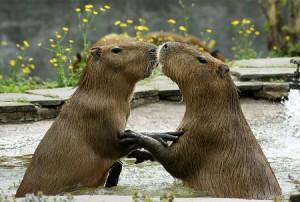capybara kiss