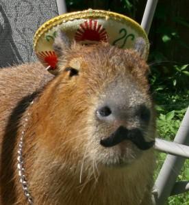 capybara mexican