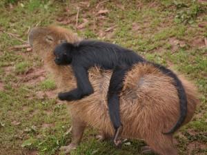 capybara monkey