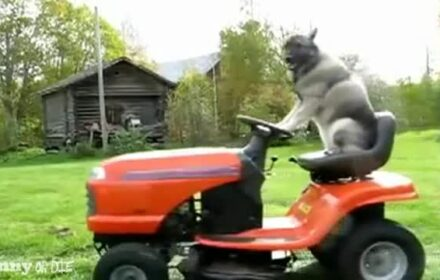 Dog driving lawn mower